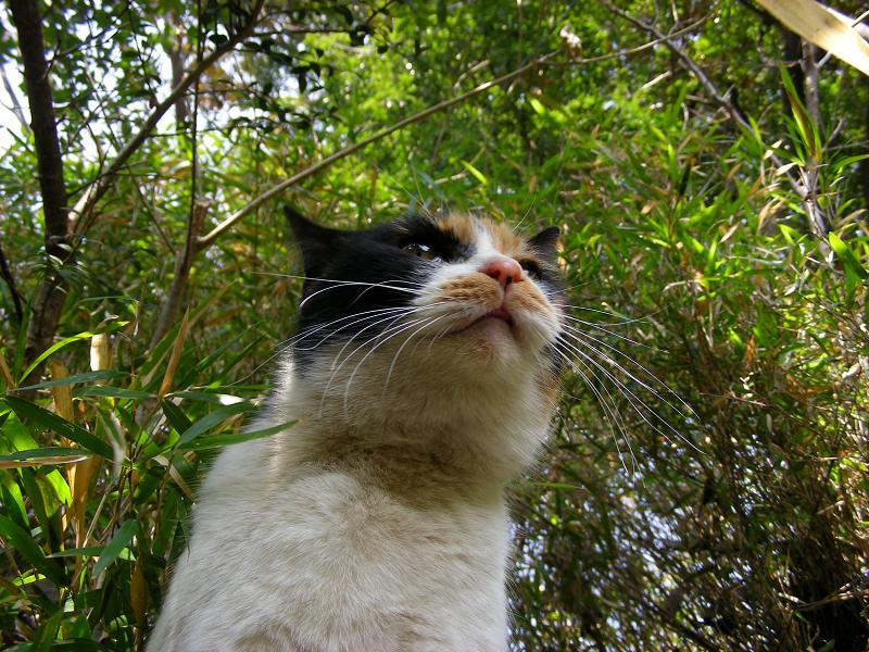 茂みの三毛猫のローアングル2