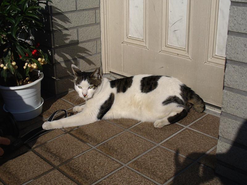 玄関でストラップ遊びの白キジ猫2