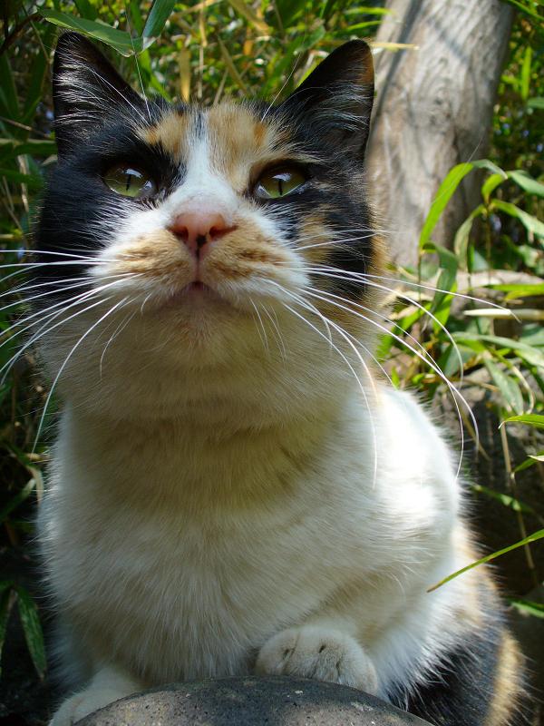 茂みの三毛猫のローアングル3