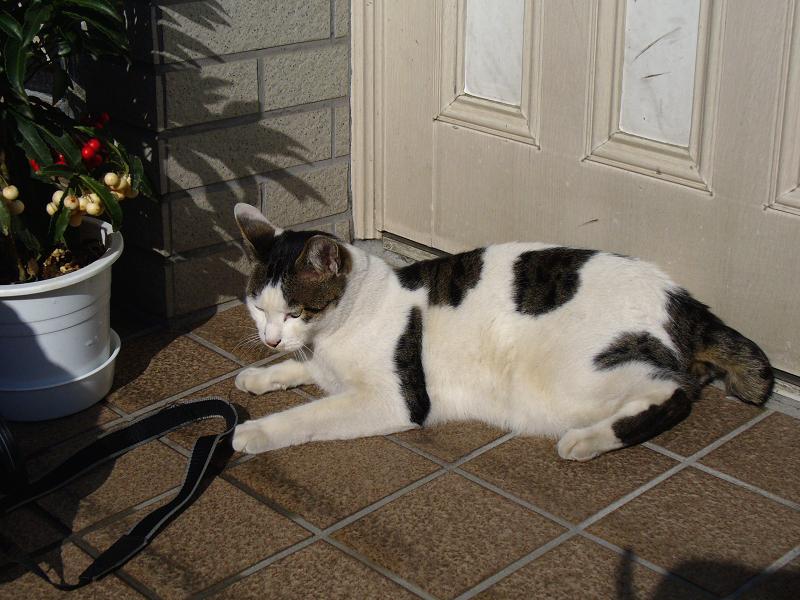 玄関でストラップ遊びの白キジ猫3