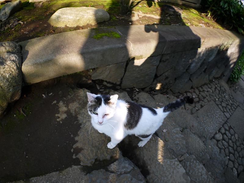 階段コントラスト白キジ猫1