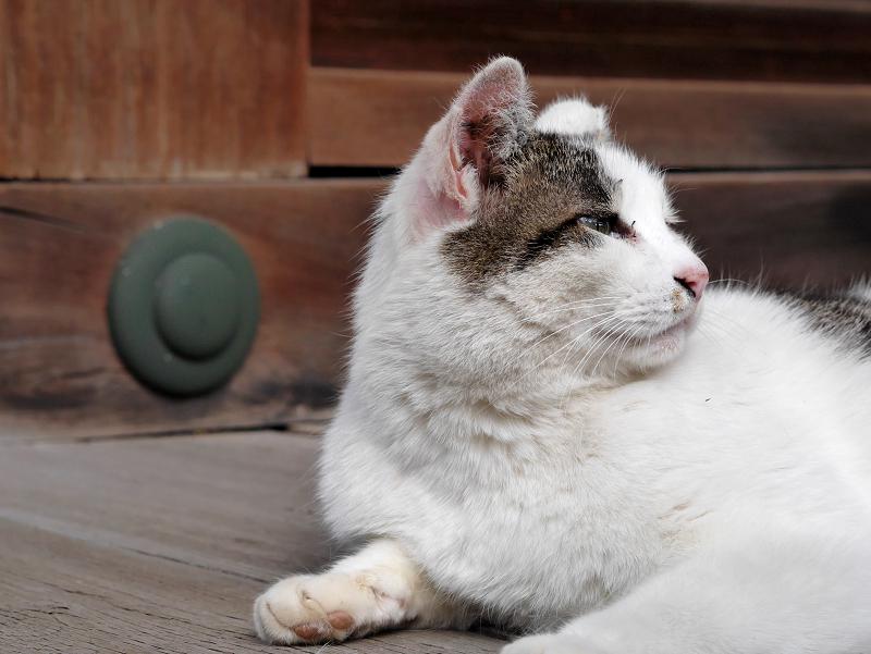 濡れ縁で不思議顔の白キジ猫1
