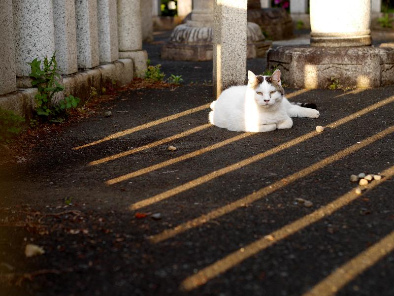 日差しと影と白キジ猫1