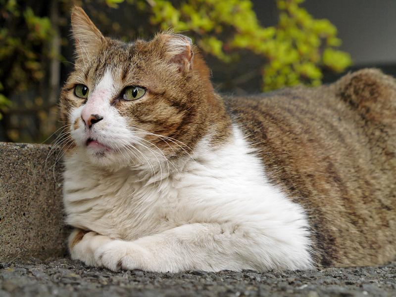 耳が短いキジ白猫1