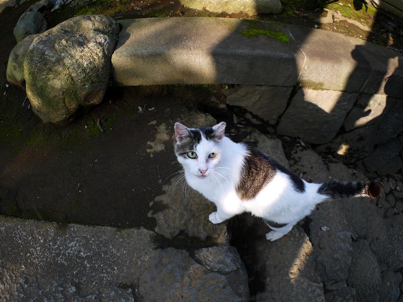 階段コントラスト白キジ猫2