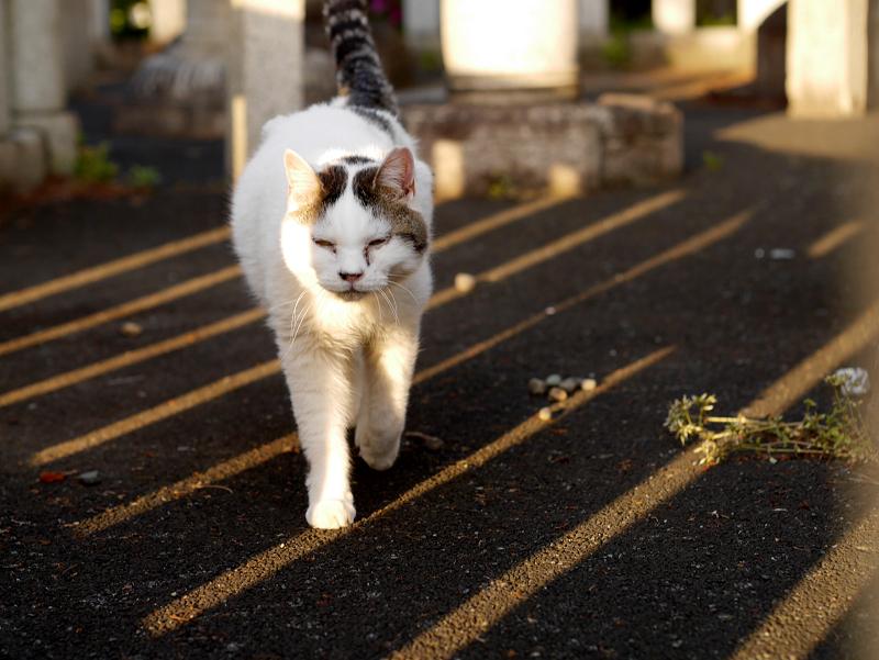 日差しと影と白キジ猫2