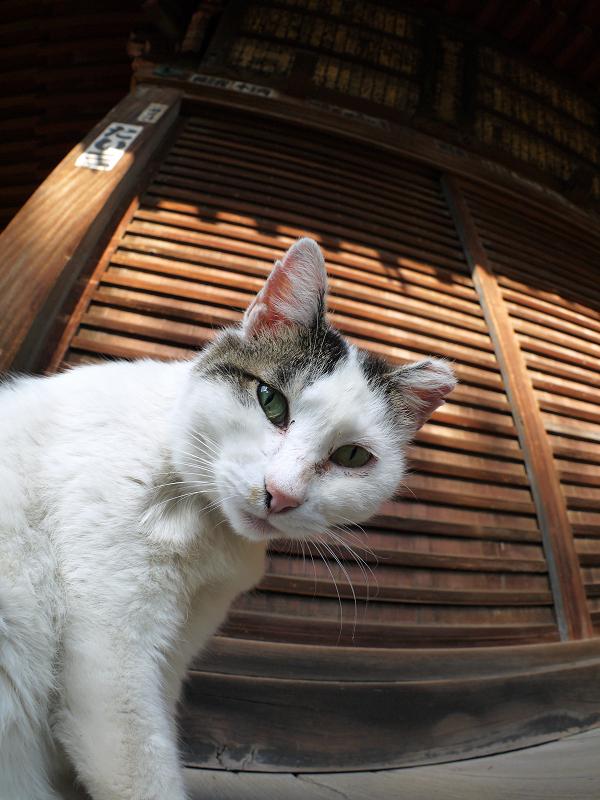 濡れ縁で不思議顔の白キジ猫3