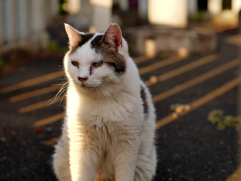 日差しと影と白キジ猫3
