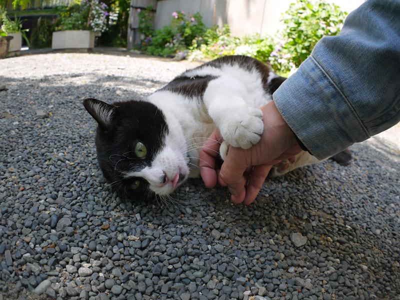 玉砂利の上の黒白猫1