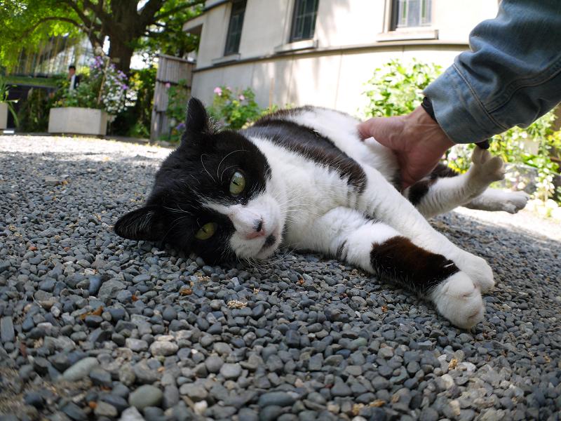 玉砂利の上の黒白猫2