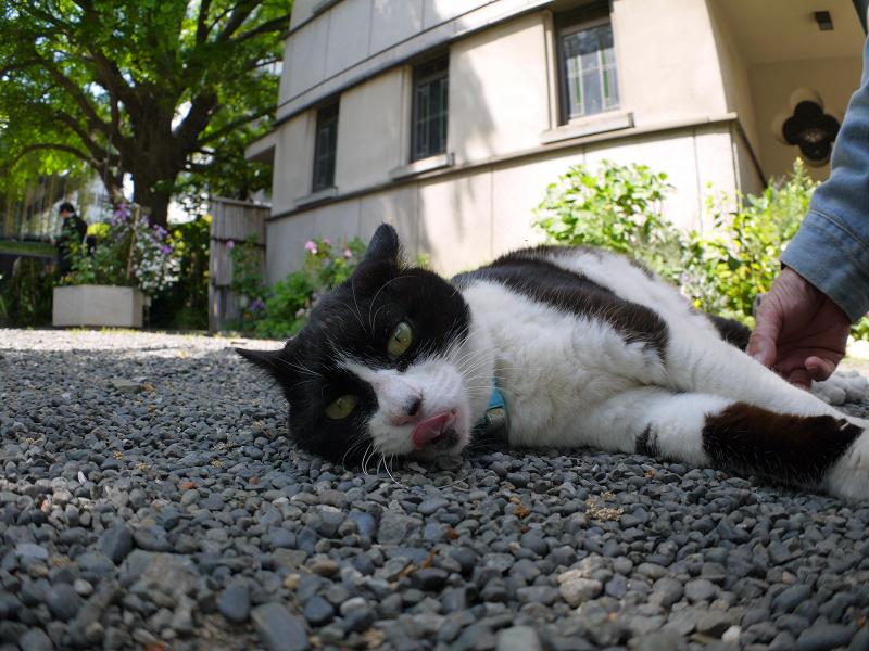 玉砂利の上の黒白猫3
