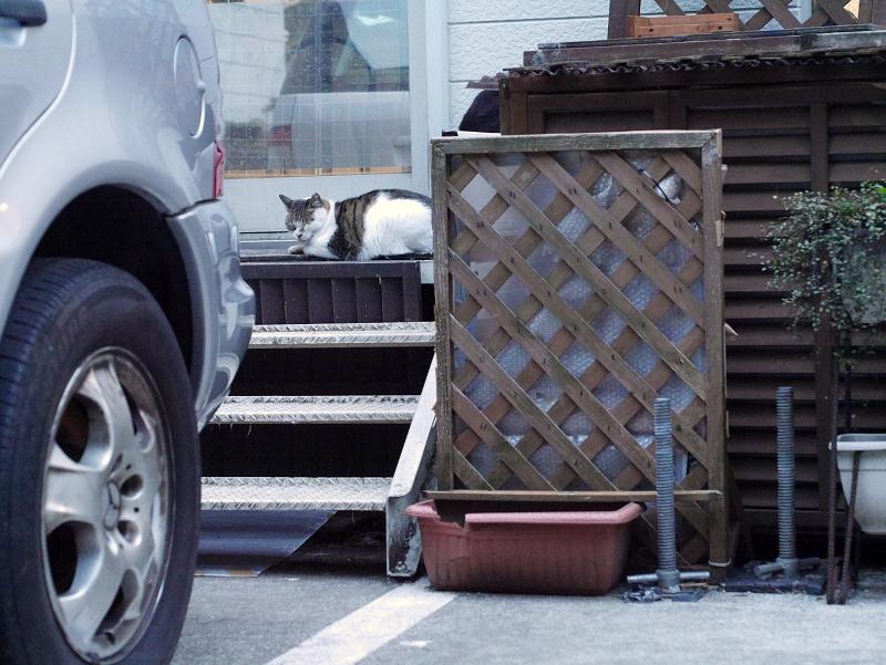 お店前階段のキジ白猫1