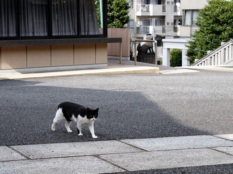 神社境内は黒白猫1