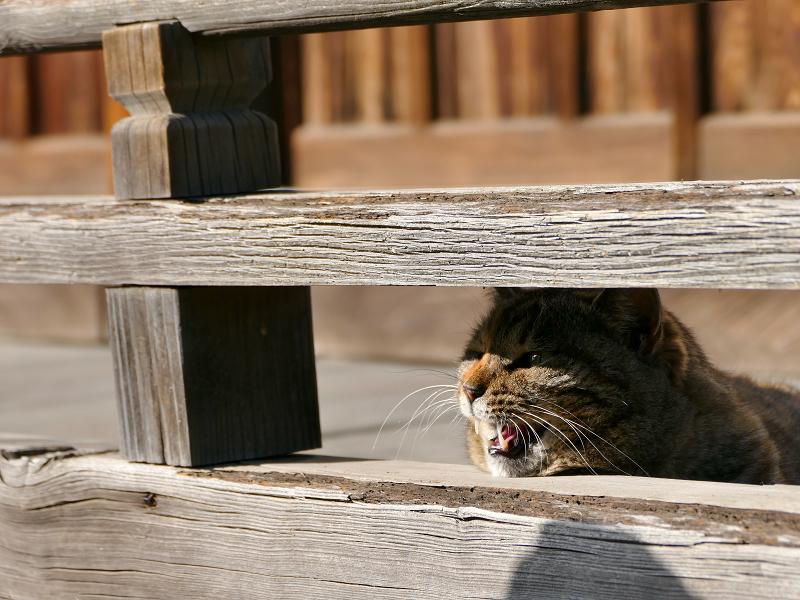 欄干から激しく鳴くキジトラ猫1