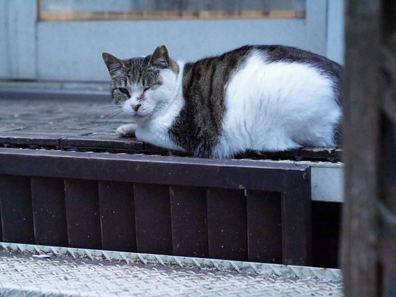 お店前階段のキジ白猫2