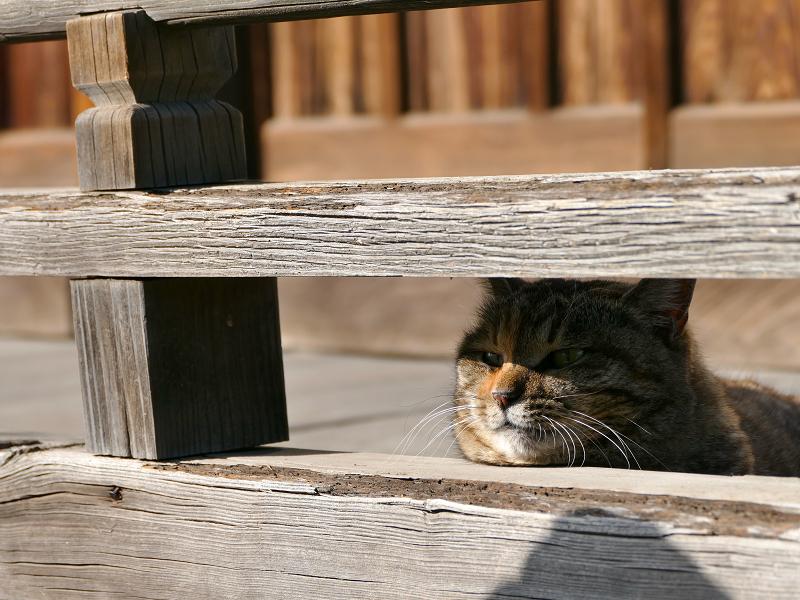 欄干から激しく鳴くキジトラ猫2