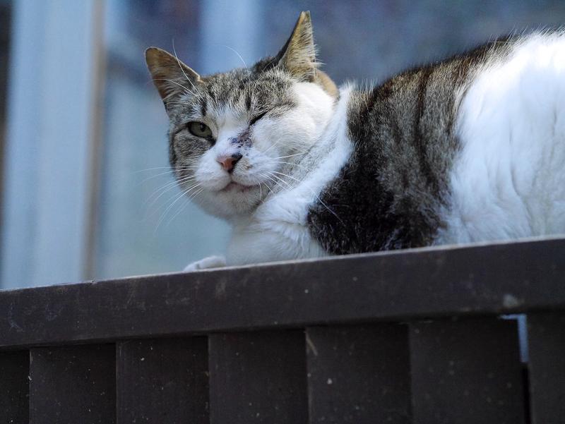 お店前階段のキジ白猫3