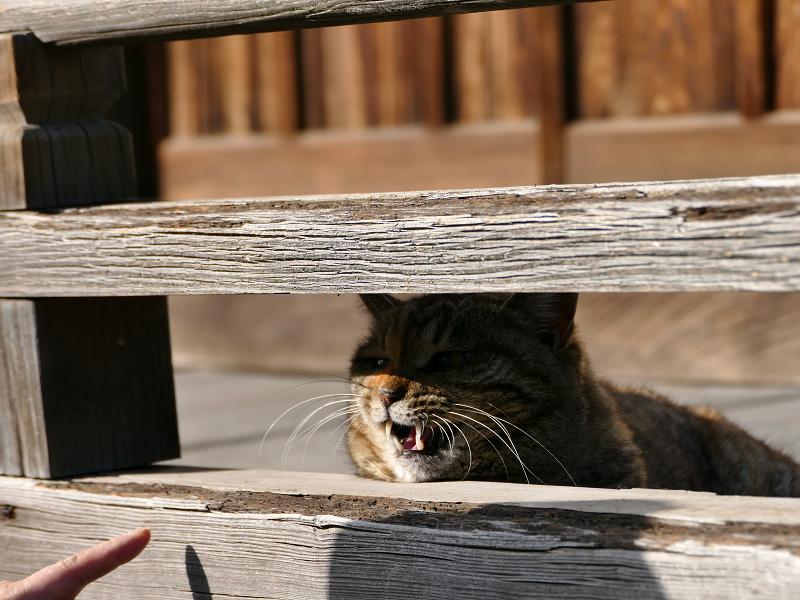欄干から激しく鳴くキジトラ猫3