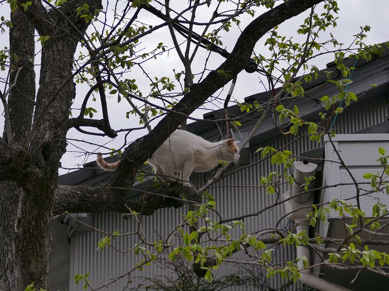 木から飛び移った白茶猫1