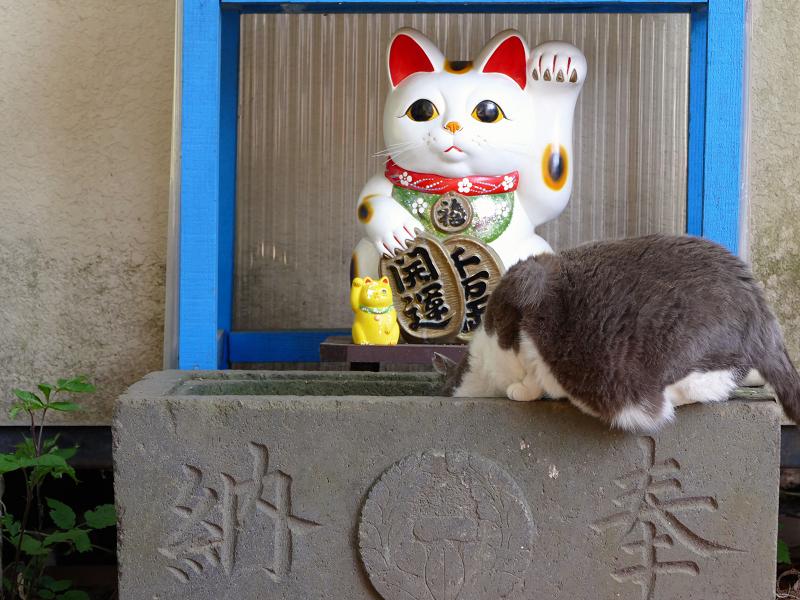 招き猫手水グレー白猫1