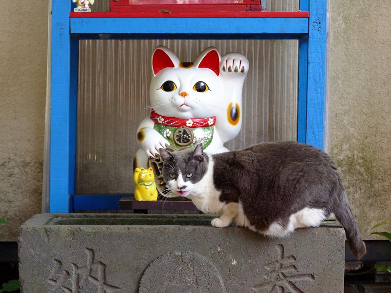 招き猫手水グレー白猫2