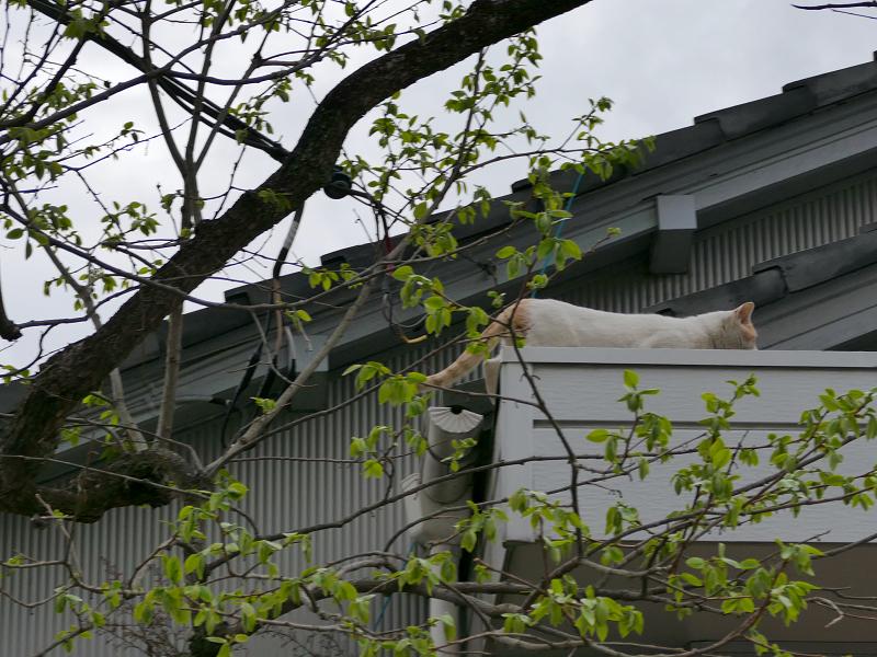 木から飛び移った白茶猫3