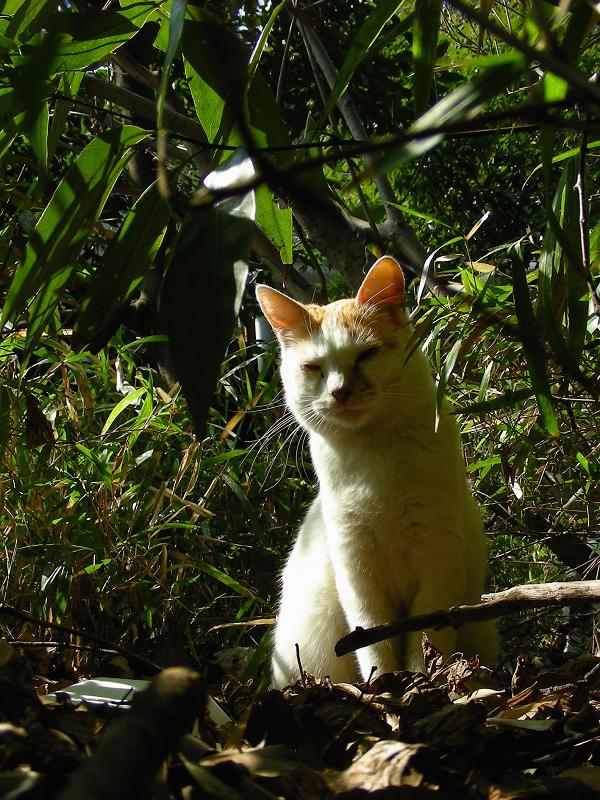 日差し茂み白茶猫1