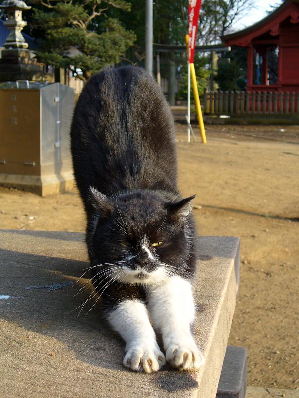 ベンチで前伸びする黒白猫1
