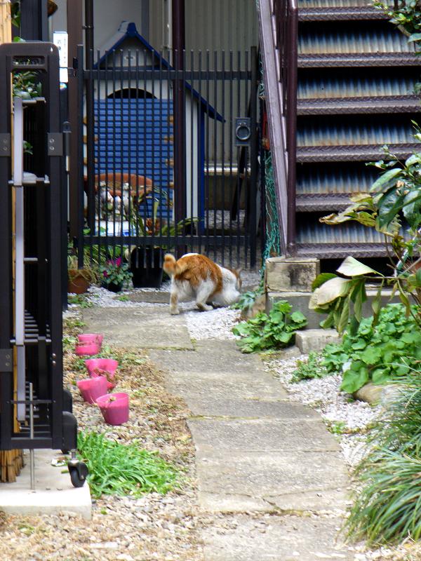 門扉を潜ってた茶白猫1