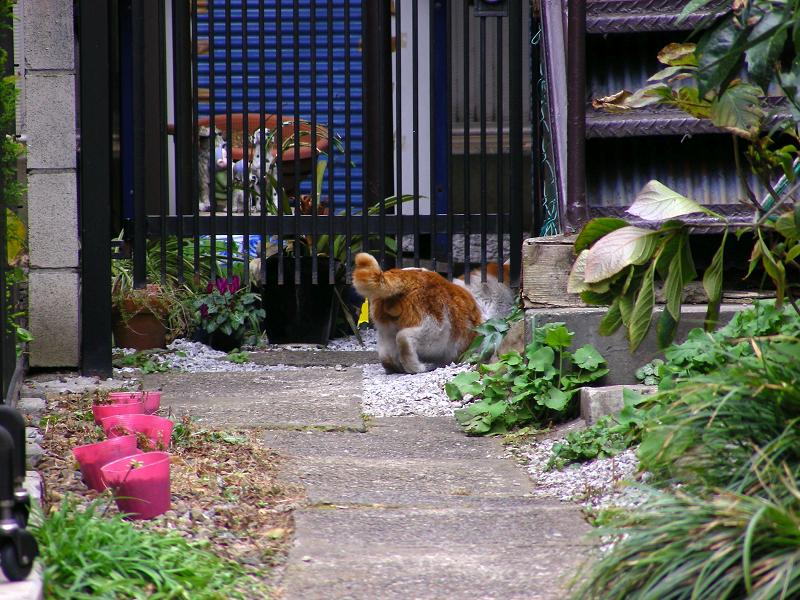 門扉を潜ってた茶白猫2