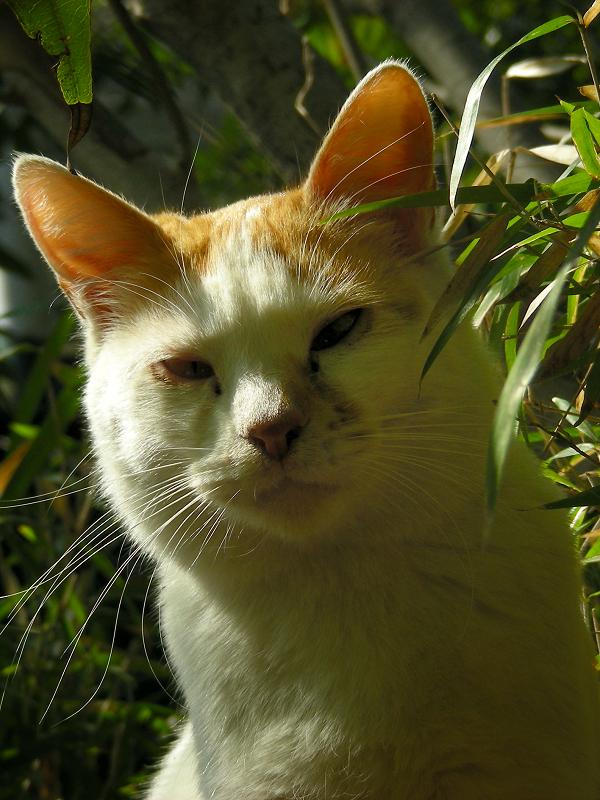 日差し茂み白茶猫3