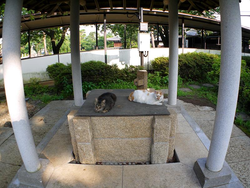 井戸とキジトラ猫1