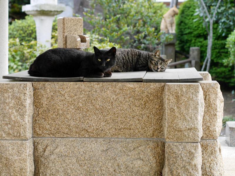 井戸蓋上のネコたち