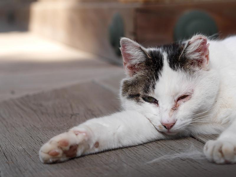 濡れ縁で寝そべる白キジ猫2