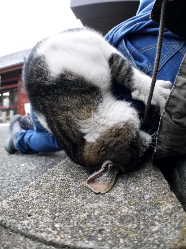 いきなり暴れるキジ白猫