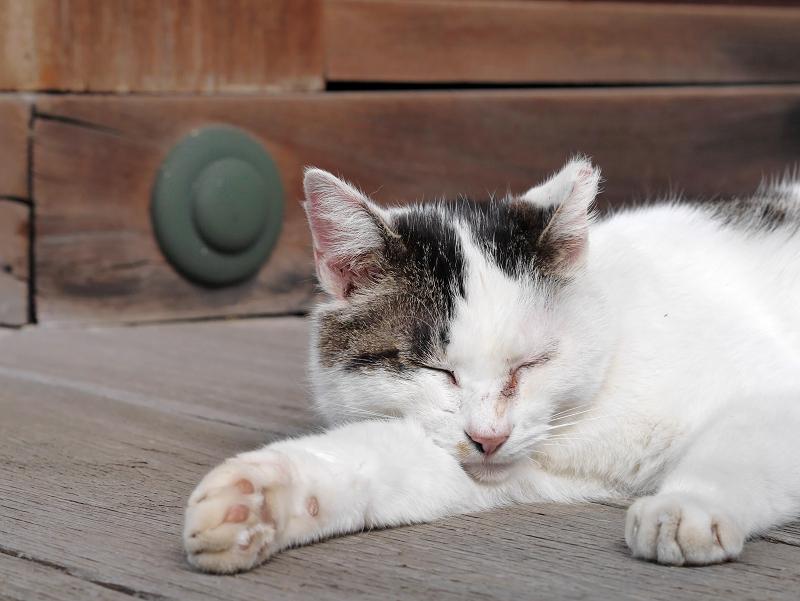 濡れ縁で寝そべる白キジ猫3
