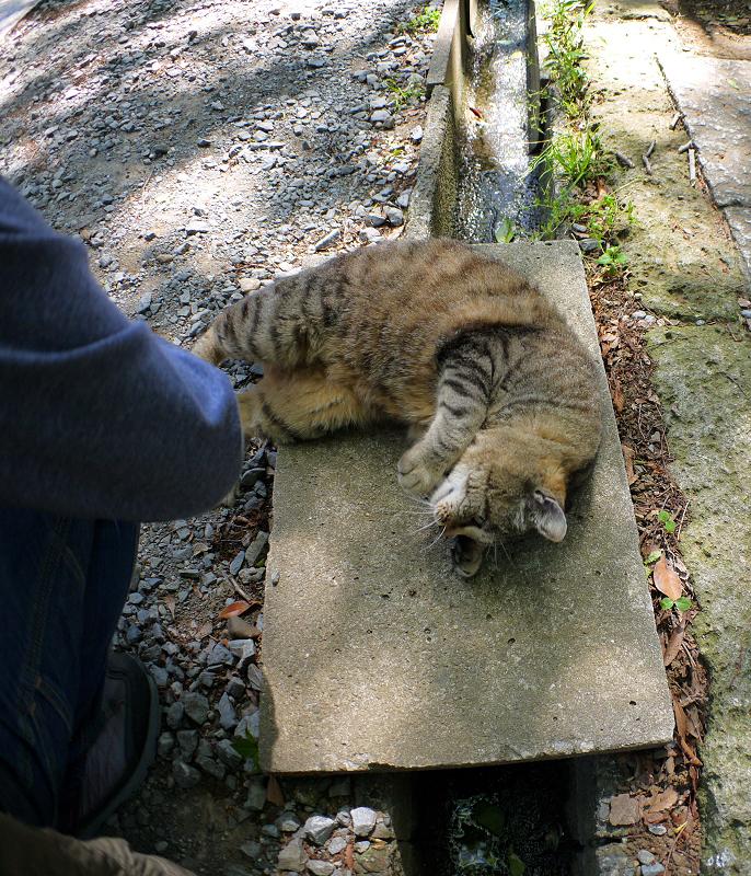 側溝足場板で転がるキジトラ猫1