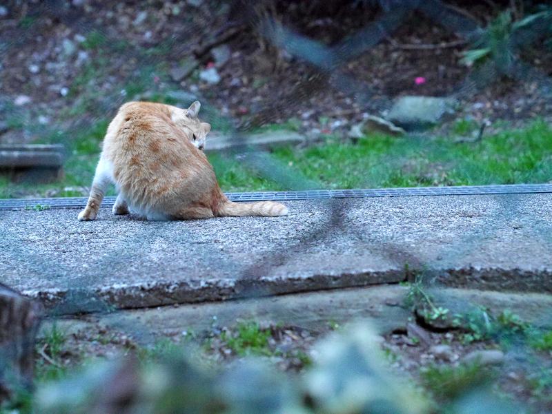 金網フェンスと毛づくろいする茶白猫1