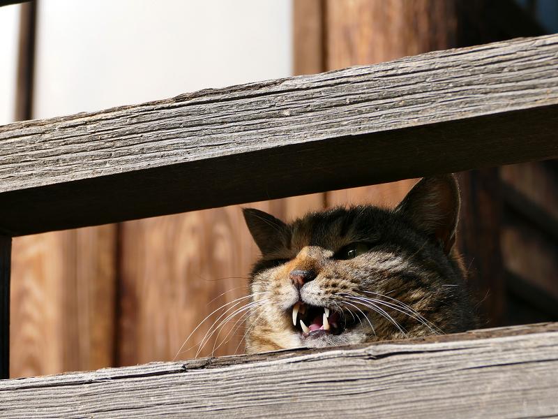 欄干から鳴く猫のローアングル1
