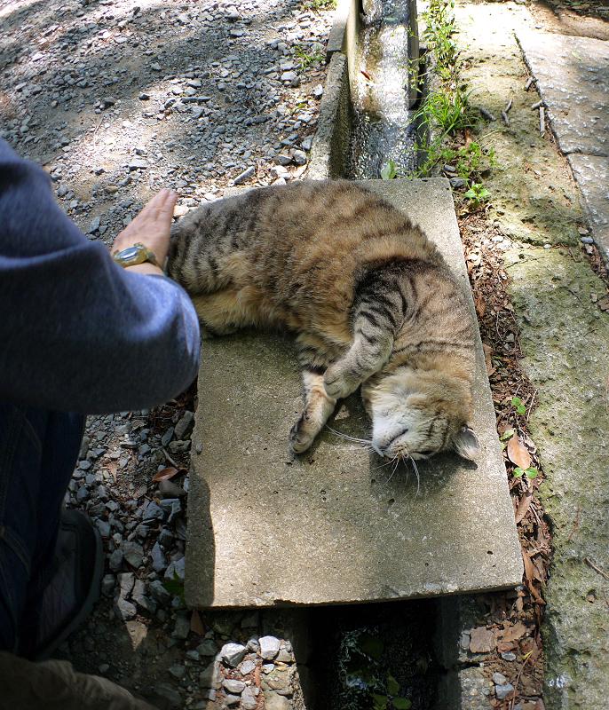 側溝足場板で転がるキジトラ猫2