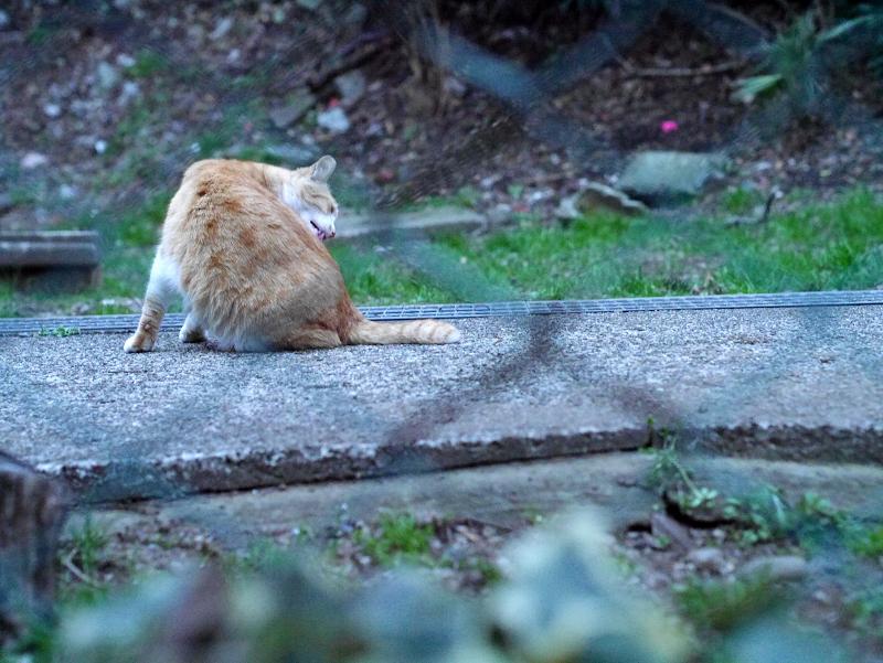金網フェンスと毛づくろいする茶白猫2