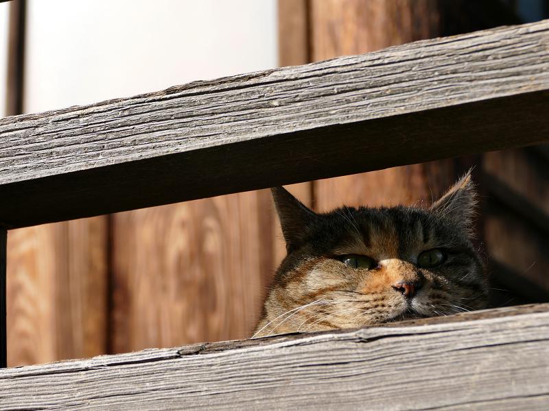 欄干から鳴く猫のローアングル3