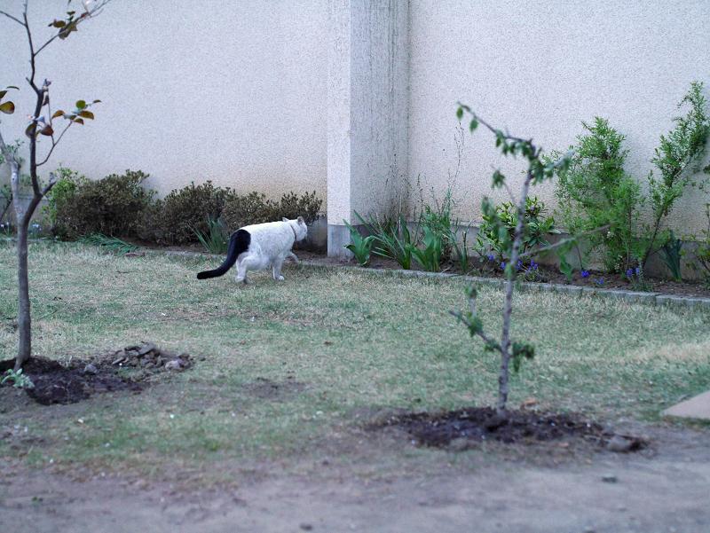 一気に塀に登る白黒猫1