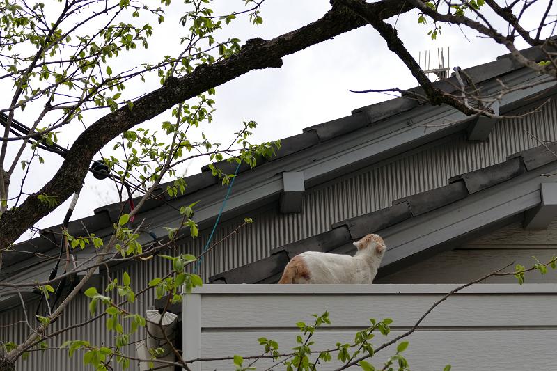 庇に乗ってる白茶猫1