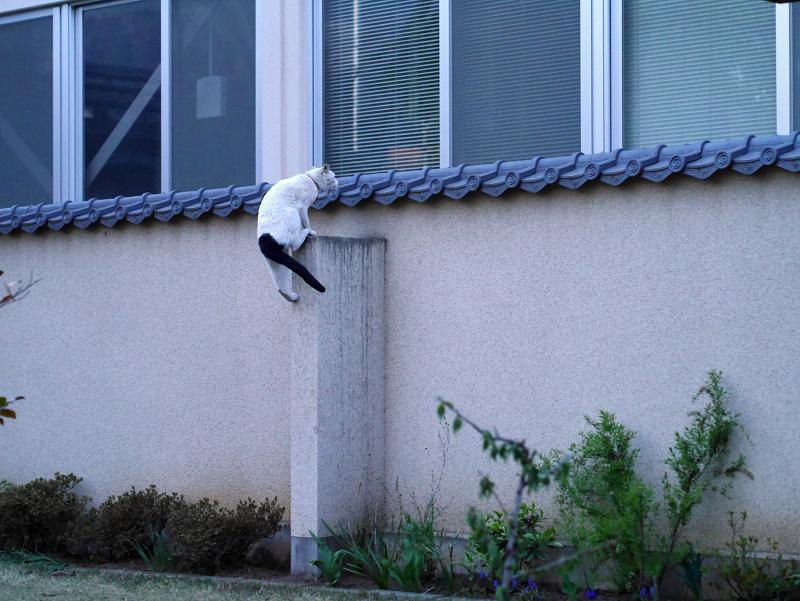 一気に塀に登る白黒猫2