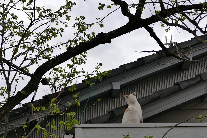 庇に乗ってる白茶猫2