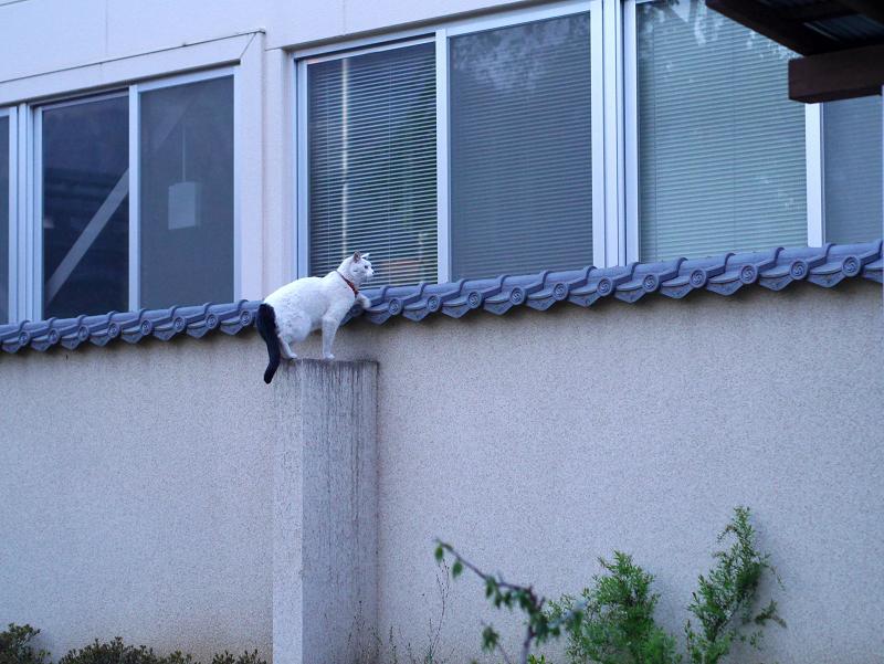 一気に塀に登る白黒猫3