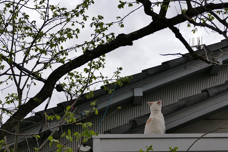 庇に乗ってる白茶猫3