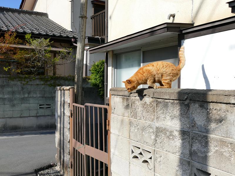 民家の庇から一気に降りる茶トラ猫3