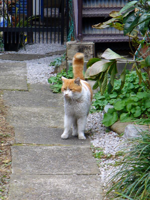 再登場した茶白猫1